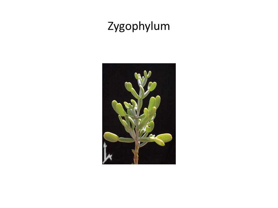 Zygophylum