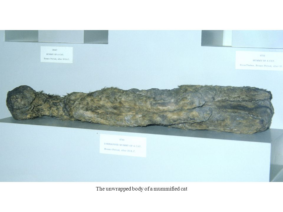 The unwrapped body of a mummified cat