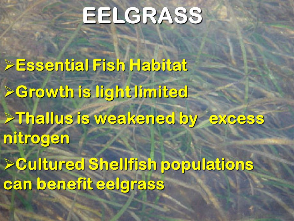 EELGRASS  Essential Fish Habitat  Growth is light limited  Thallus is weakened by excess nitrogen  Cultured Shellfish populations can benefit eelg