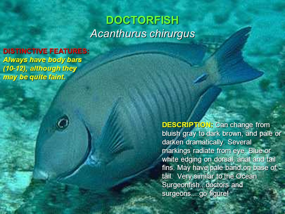 DOCTORFISH Acanthurus chirurgus DESCRIPTION: Can change from bluish gray to dark brown, and pale or darken dramatically.