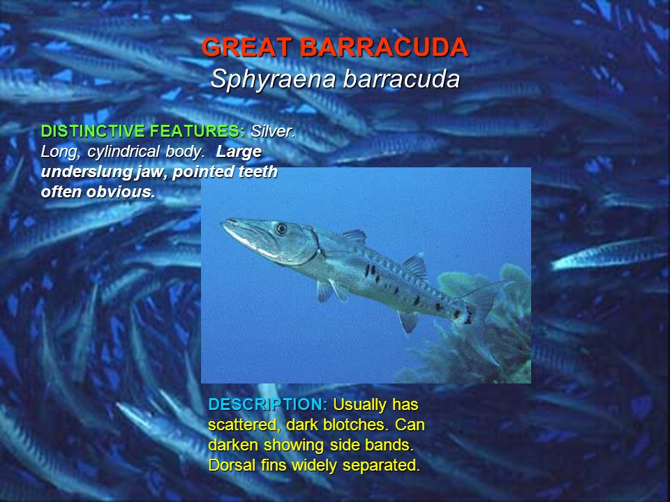 GREAT BARRACUDA Sphyraena barracuda DISTINCTIVE FEATURES: Silver.