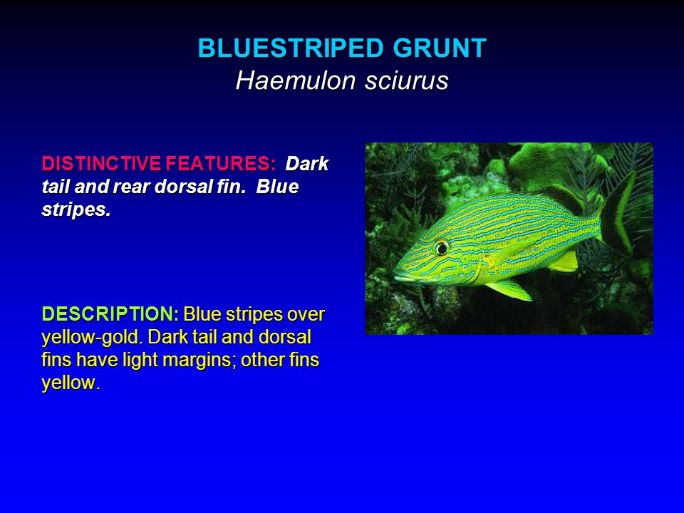 BLUESTRIPED GRUNT Haemulon sciurus DISTINCTIVE FEATURES: Dark tail and rear dorsal fin.