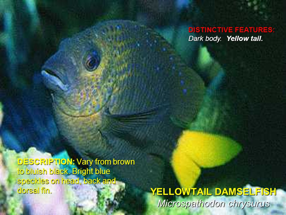 YELLOWTAIL DAMSELFISH Microspathodon chrysurus DESCRIPTION: Vary from brown to bluish black.