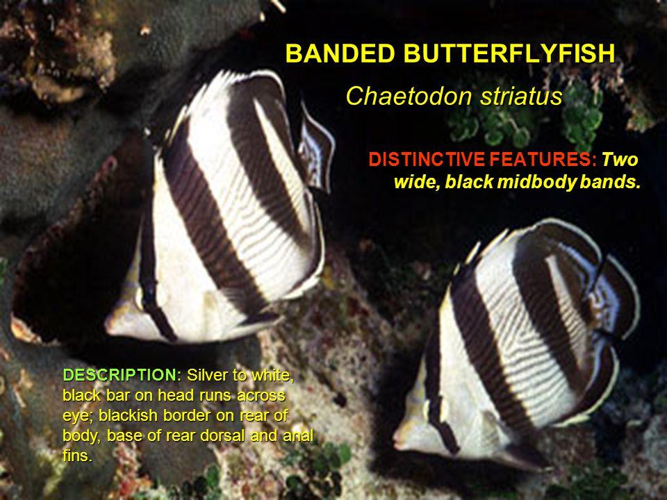 GREAT BARRACUDA Sphyraena barracuda DISTINCTIVE FEATURES: Silver.