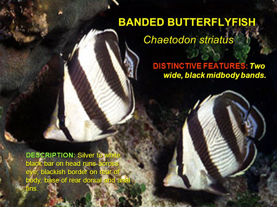 HARLEQUIN BASS Serranus tigrinus DISTINCTIVE FEATURES: Dark, tiger-like bars.