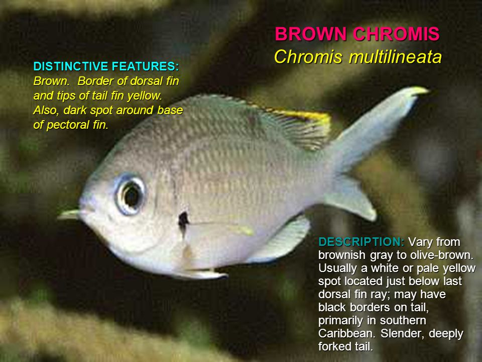 BROWN CHROMIS Chromis multilineata DESCRIPTION: Vary from brownish gray to olive-brown.