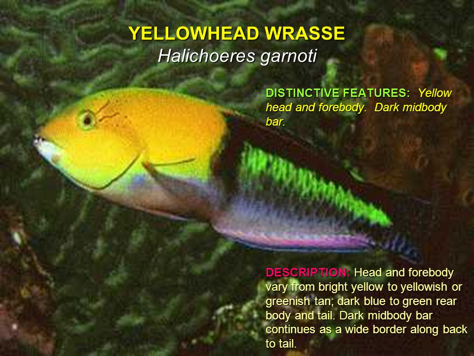 YELLOWHEAD WRASSE Halichoeres garnoti DISTINCTIVE FEATURES: Yellow head and forebody.