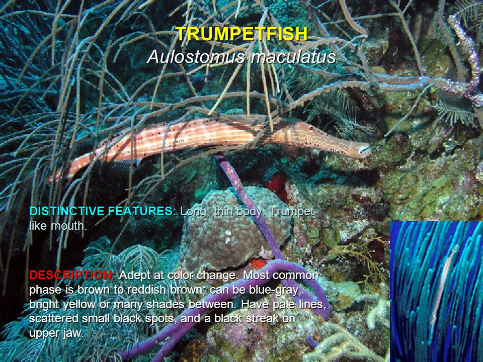 TRUMPETFISH Aulostomus maculatus DISTINCTIVE FEATURES: Long, thin body.