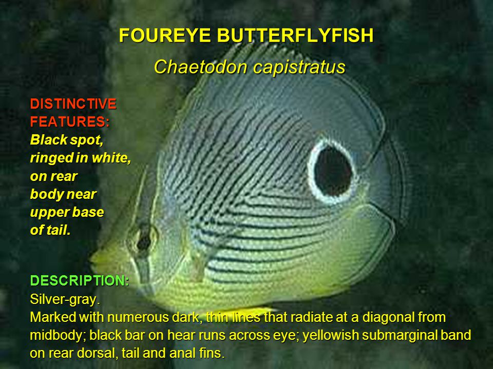 FOUREYE BUTTERFLYFISH Chaetodon capistratus DISTINCTIVEFEATURES: Black spot, ringed in white, on rear body near upper base of tail.