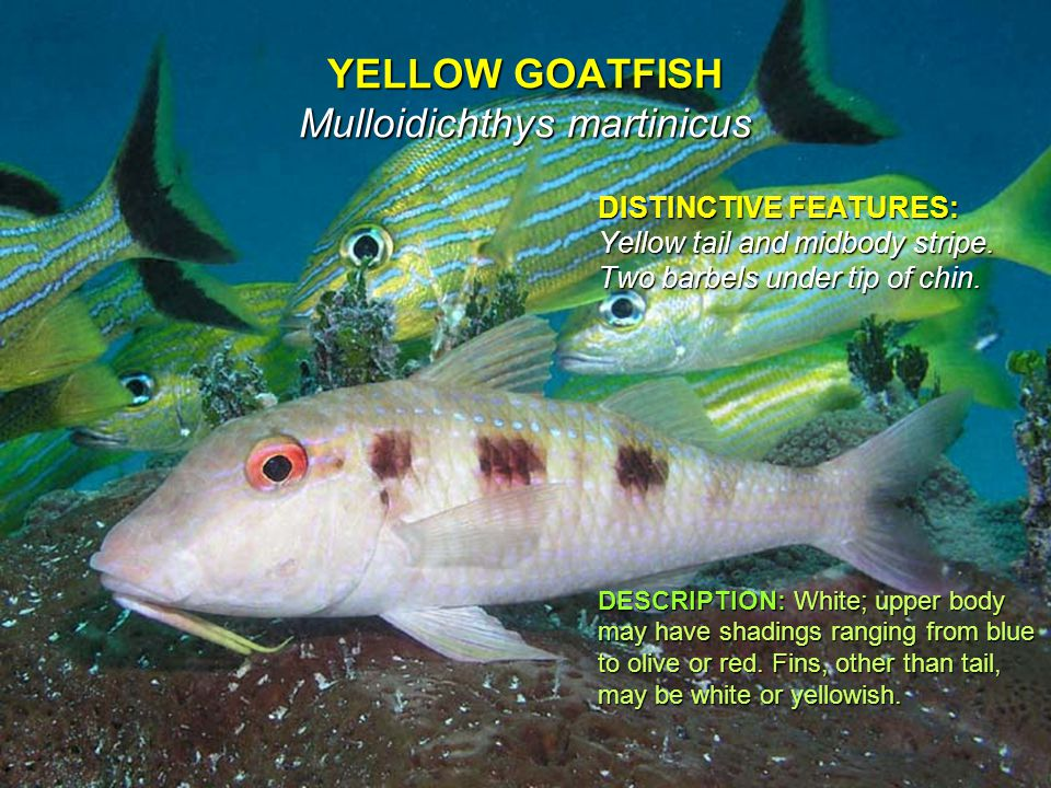 YELLOW GOATFISH Mulloidichthys martinicus DISTINCTIVE FEATURES: Yellow tail and midbody stripe.