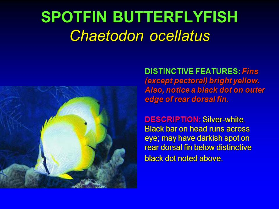 QUEEN ANGELFISH Holacanthus ciliaris DISTINCTIVE FEATURES: 1.