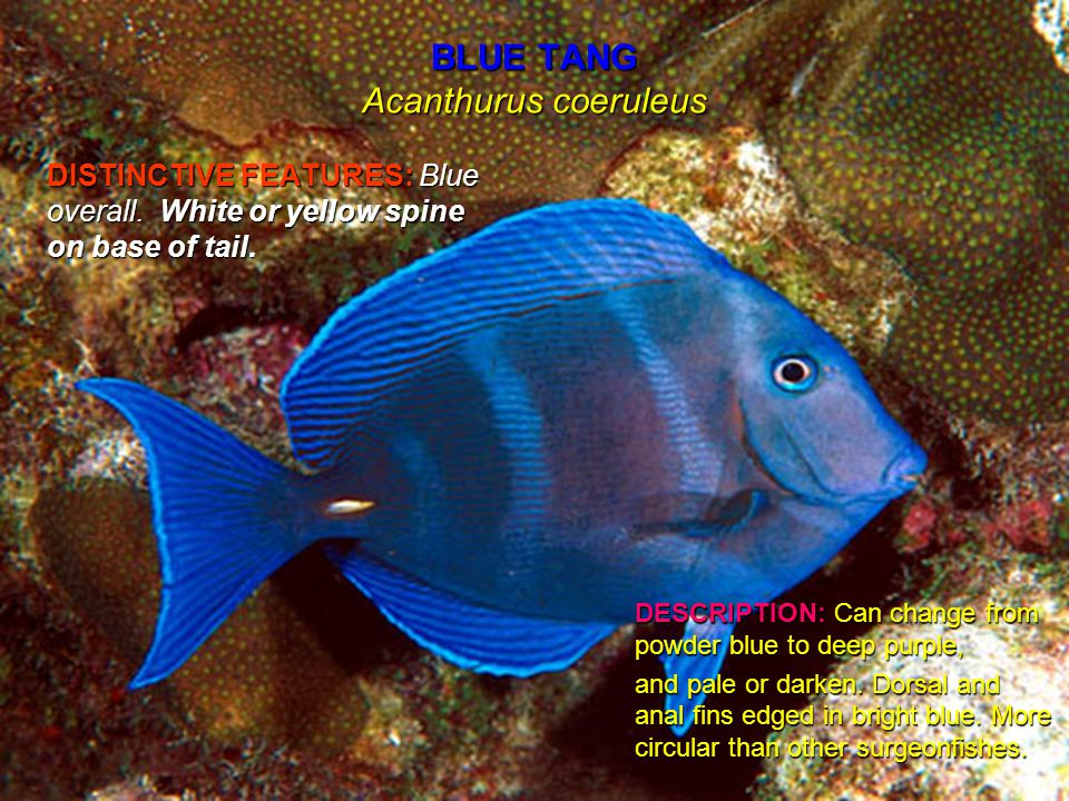 BLUE TANG Acanthurus coeruleus DISTINCTIVE FEATURES: Blue overall.