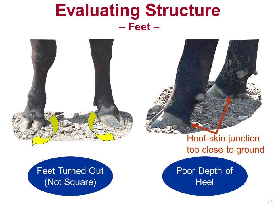 11 Evaluating Structure – Feet – Feet Turned Out (Not Square) Poor Depth of Heel Hoof-skin junction too close to ground