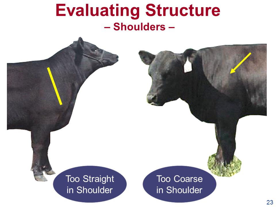 23 Evaluating Structure – Shoulders – Too Straight in Shoulder Too Coarse in Shoulder