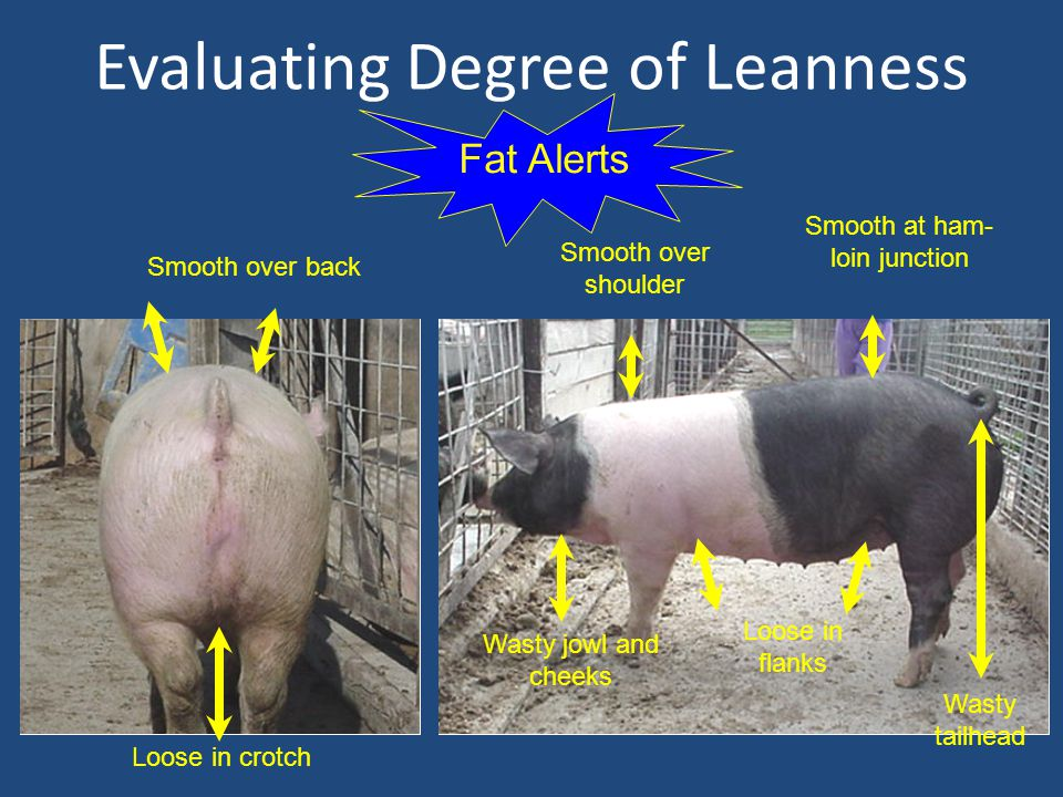 Evaluating Degree of Leanness Fat Alerts Smooth over back Loose in crotch Smooth over shoulder Wasty jowl and cheeks Loose in flanks Smooth at ham- loin junction Wasty tailhead