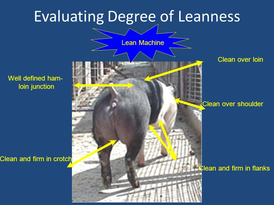 Evaluating Degree of Leanness Lean Machine Clean over shoulder Clean over loin Well defined ham- loin junction Clean and firm in crotch Clean and firm in flanks