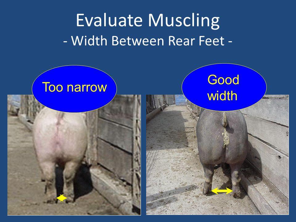 Evaluate Muscling - Width Between Rear Feet - Too narrow Good width