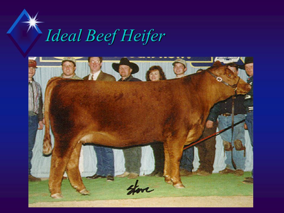 Ideal Beef Heifer