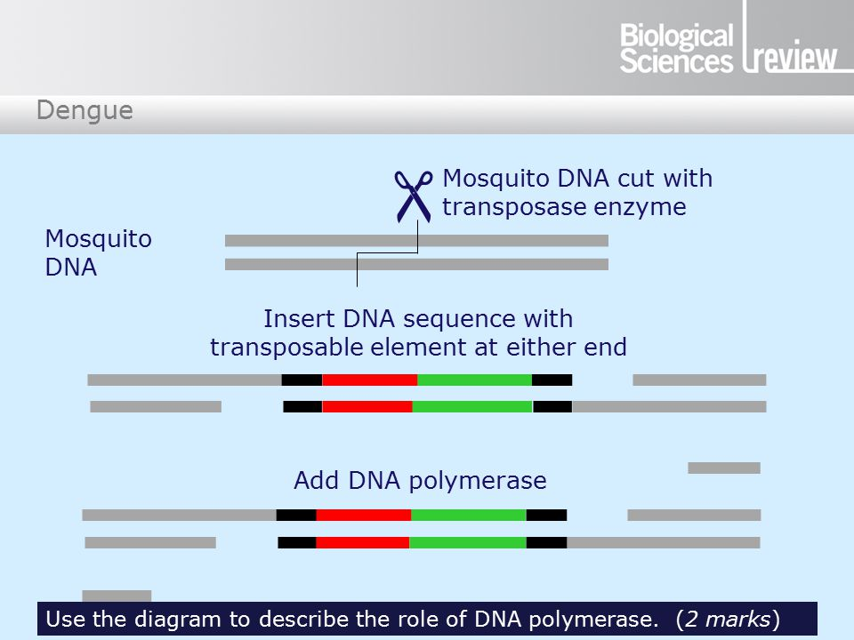 Dengue  Mosquito DNA cut with transposase enzyme Mosquito DNA Insert DNA sequence with transposable element at either end Add DNA polymerase Use the diagram to describe the role of DNA polymerase.