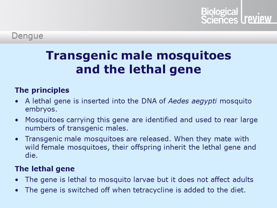 Dengue The lethal gene The gene is lethal to mosquito larvae but it does not affect adults The gene is switched off when tetracycline is added to the diet.