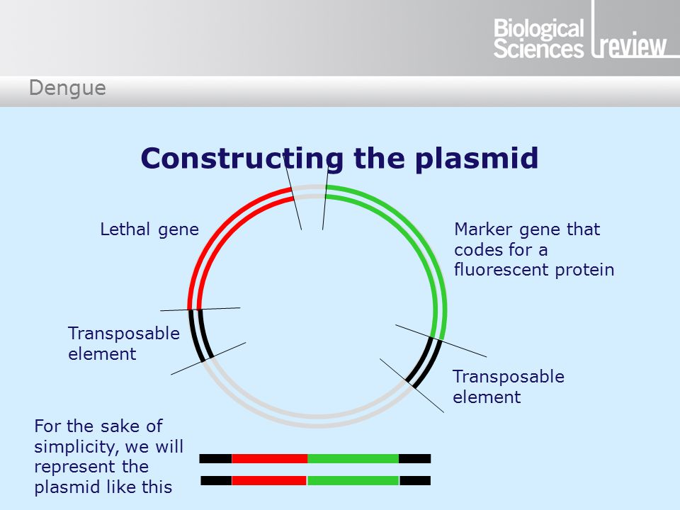 Dengue Marker gene that codes for a fluorescent protein Lethal gene Transposable element For the sake of simplicity, we will represent the plasmid like this Constructing the plasmid