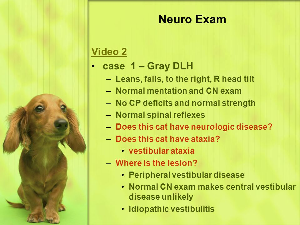 Video 2 case 1 – Gray DLH –L–Leans, falls, to the right, R head tilt –N–Normal mentation and CN exam –N–No CP deficits and normal strength –N–Normal spinal reflexes –D–Does this cat have neurologic disease.