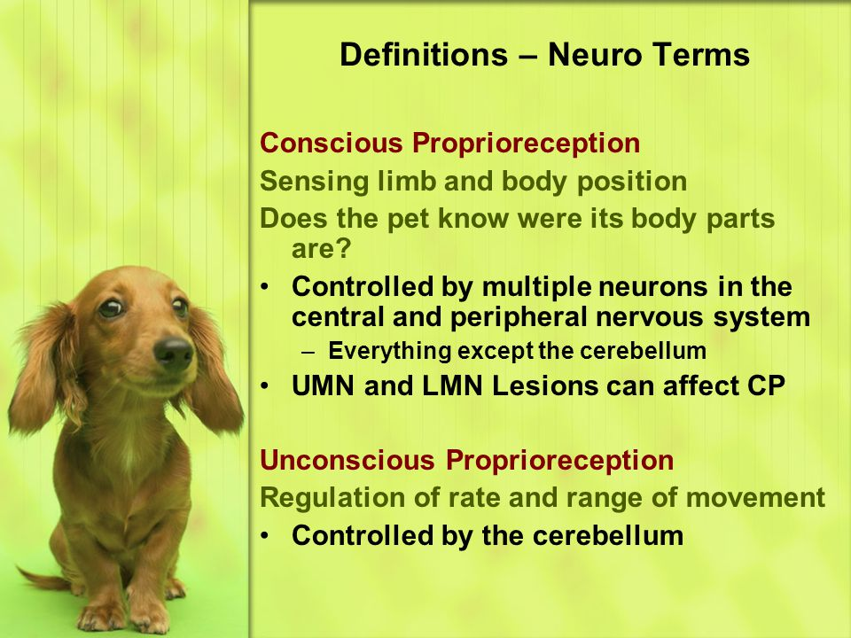 Definitions – Neuro Terms Conscious Proprioreception Sensing limb and body position Does the pet know were its body parts are.