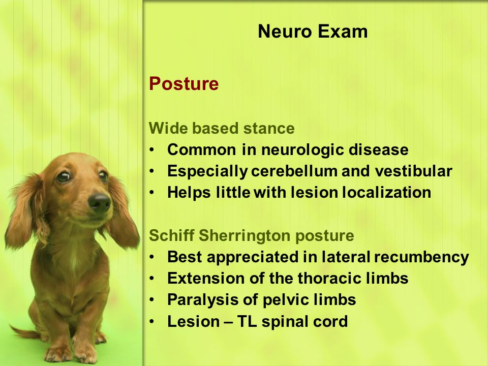 Neuro Exam Posture Wide based stance Common in neurologic disease Especially cerebellum and vestibular Helps little with lesion localization Schiff Sherrington posture Best appreciated in lateral recumbency Extension of the thoracic limbs Paralysis of pelvic limbs Lesion – TL spinal cord
