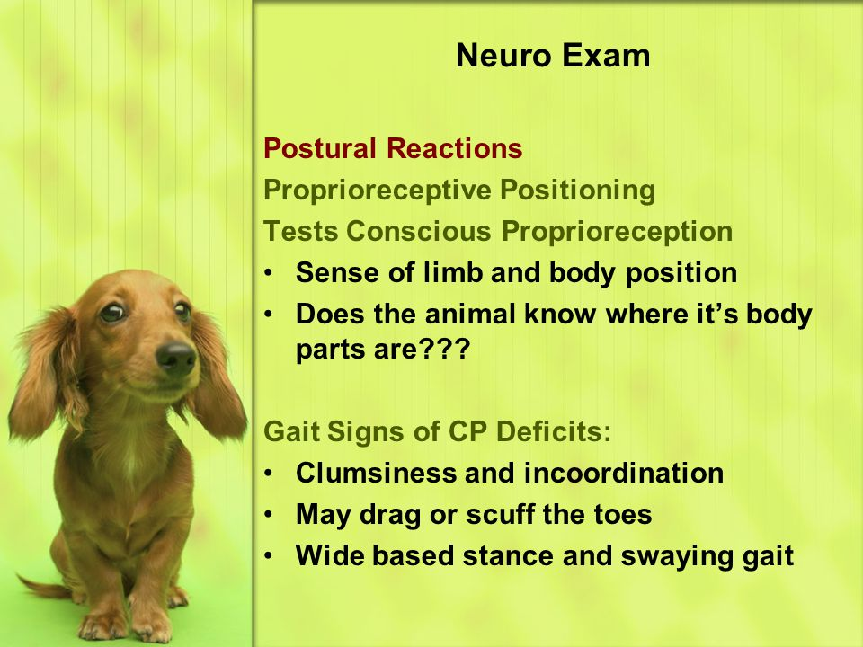 Neuro Exam Postural Reactions Proprioreceptive Positioning Tests Conscious Proprioreception Sense of limb and body position Does the animal know where it's body parts are??.