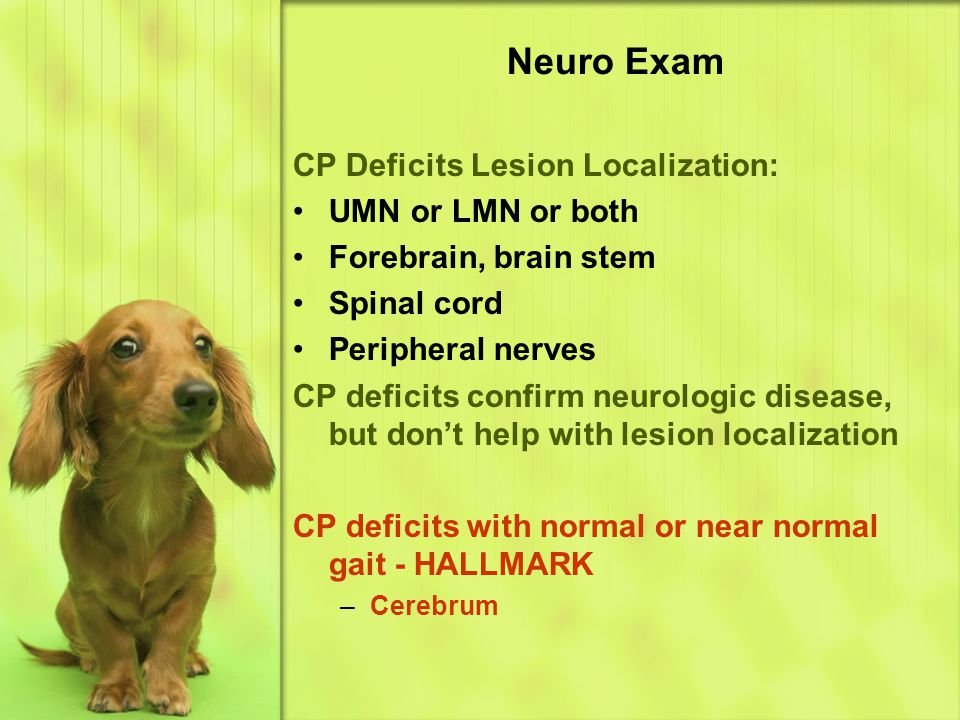 Neuro Exam CP Deficits Lesion Localization: UMN or LMN or both Forebrain, brain stem Spinal cord Peripheral nerves CP deficits confirm neurologic disease, but don't help with lesion localization CP deficits with normal or near normal gait - HALLMARK –C–Cerebrum