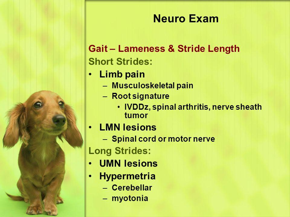 Neuro Exam Gait – Lameness & Stride Length Short Strides: Limb pain –Musculoskeletal pain –Root signature IVDDz, spinal arthritis, nerve sheath tumor LMN lesions –Spinal cord or motor nerve Long Strides: UMN lesions Hypermetria –Cerebellar –myotonia