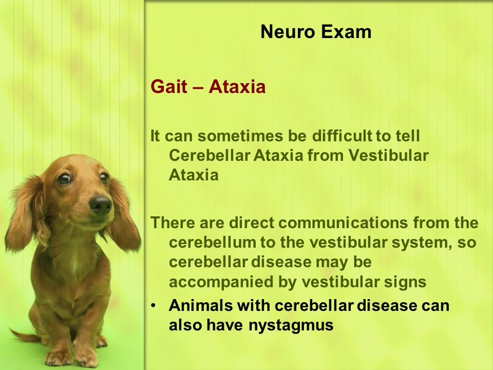 Neuro Exam Gait – Ataxia It can sometimes be difficult to tell Cerebellar Ataxia from Vestibular Ataxia There are direct communications from the cerebellum to the vestibular system, so cerebellar disease may be accompanied by vestibular signs Animals with cerebellar disease can also have nystagmus