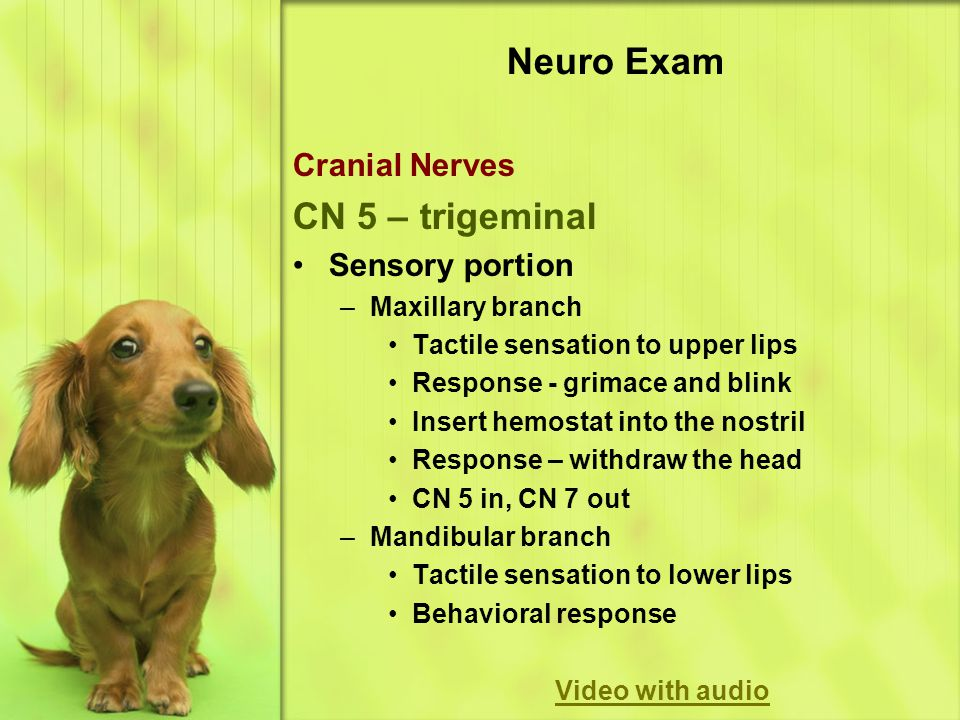 Neuro Exam Cranial Nerves CN 5 – trigeminal Sensory portion –Maxillary branch Tactile sensation to upper lips Response - grimace and blink Insert hemostat into the nostril Response – withdraw the head CN 5 in, CN 7 out –Mandibular branch Tactile sensation to lower lips Behavioral response Video with audio