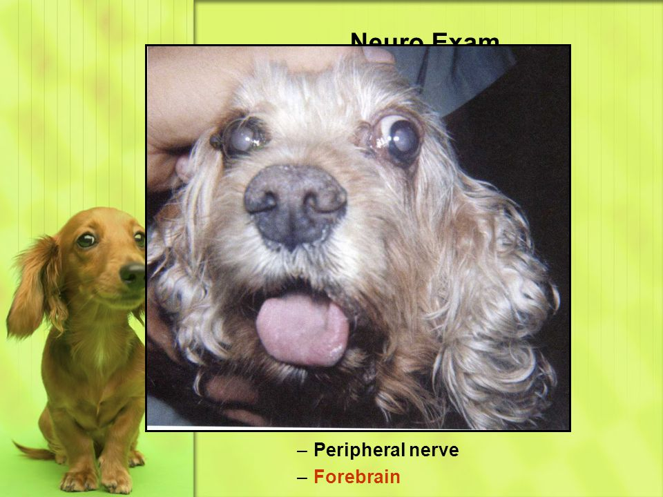 Cranial Nerves CN 7 – facial Facial asymmetry –Facial paralysis Enlarged palpebral fissure Ectropion Drooping lip commissure Drooping ear Dry eye Lesion localization –Brainstem –Ear –Peripheral nerve –Forebrain
