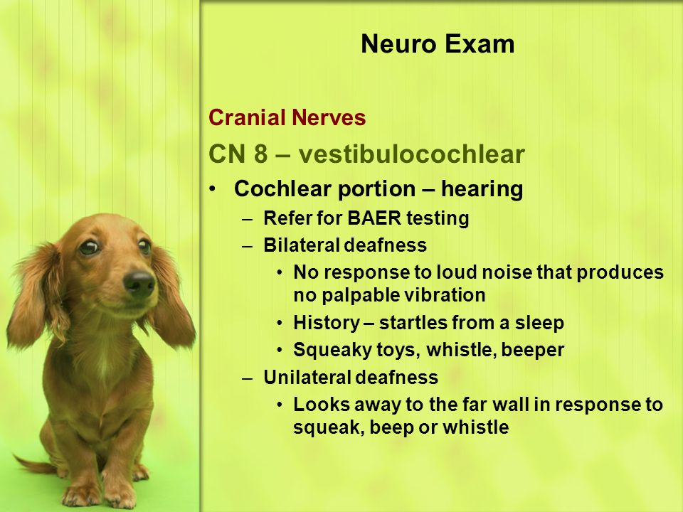 Neuro Exam Cranial Nerves CN 8 – vestibulocochlear Cochlear portion – hearing –Refer for BAER testing –Bilateral deafness No response to loud noise that produces no palpable vibration History – startles from a sleep Squeaky toys, whistle, beeper –Unilateral deafness Looks away to the far wall in response to squeak, beep or whistle