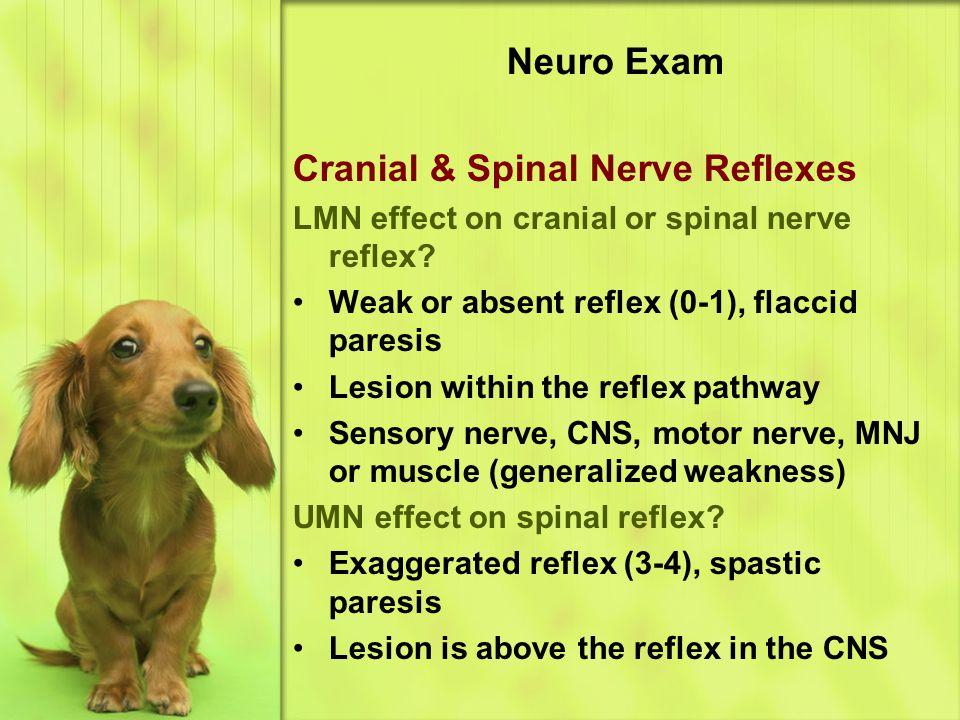 Neuro Exam Cranial & Spinal Nerve Reflexes LMN effect on cranial or spinal nerve reflex.