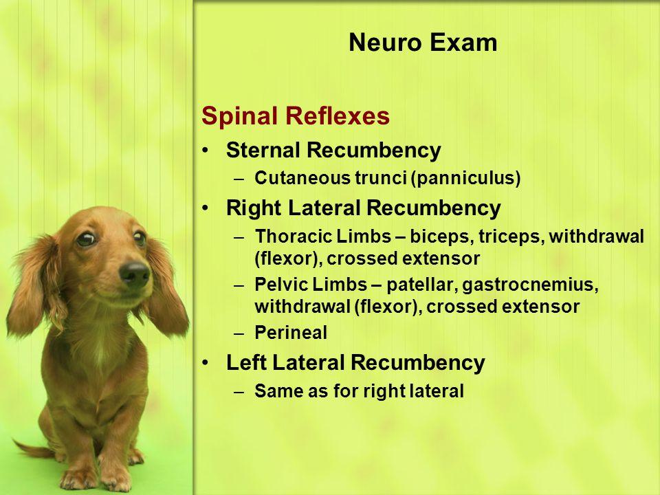 Neuro Exam Spinal Reflexes Sternal Recumbency –Cutaneous trunci (panniculus) Right Lateral Recumbency –Thoracic Limbs – biceps, triceps, withdrawal (flexor), crossed extensor –Pelvic Limbs – patellar, gastrocnemius, withdrawal (flexor), crossed extensor –Perineal Left Lateral Recumbency –Same as for right lateral