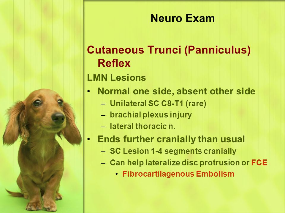 Neuro Exam Cutaneous Trunci (Panniculus) Reflex LMN Lesions Normal one side, absent other side –Unilateral SC C8-T1 (rare) –brachial plexus injury –lateral thoracic n.