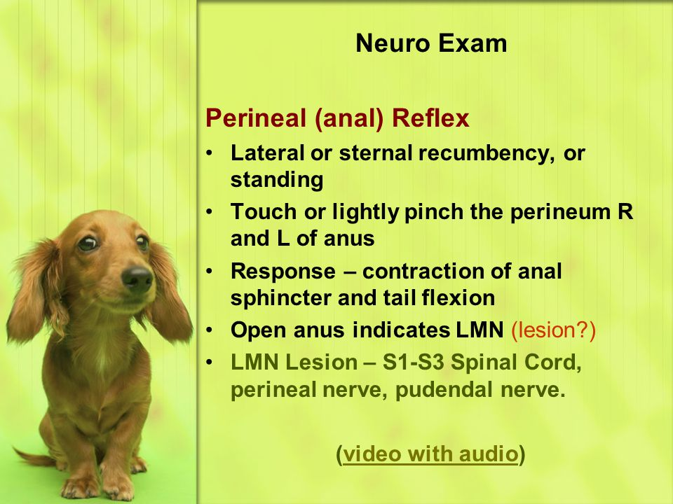 Neuro Exam Perineal (anal) Reflex Lateral or sternal recumbency, or standing Touch or lightly pinch the perineum R and L of anus Response – contraction of anal sphincter and tail flexion Open anus indicates LMN (lesion?) LMN Lesion – S1-S3 Spinal Cord, perineal nerve, pudendal nerve.
