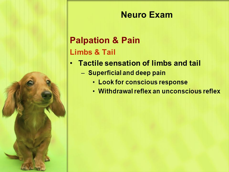 Neuro Exam Palpation & Pain Limbs & Tail Tactile sensation of limbs and tail –Superficial and deep pain Look for conscious response Withdrawal reflex an unconscious reflex