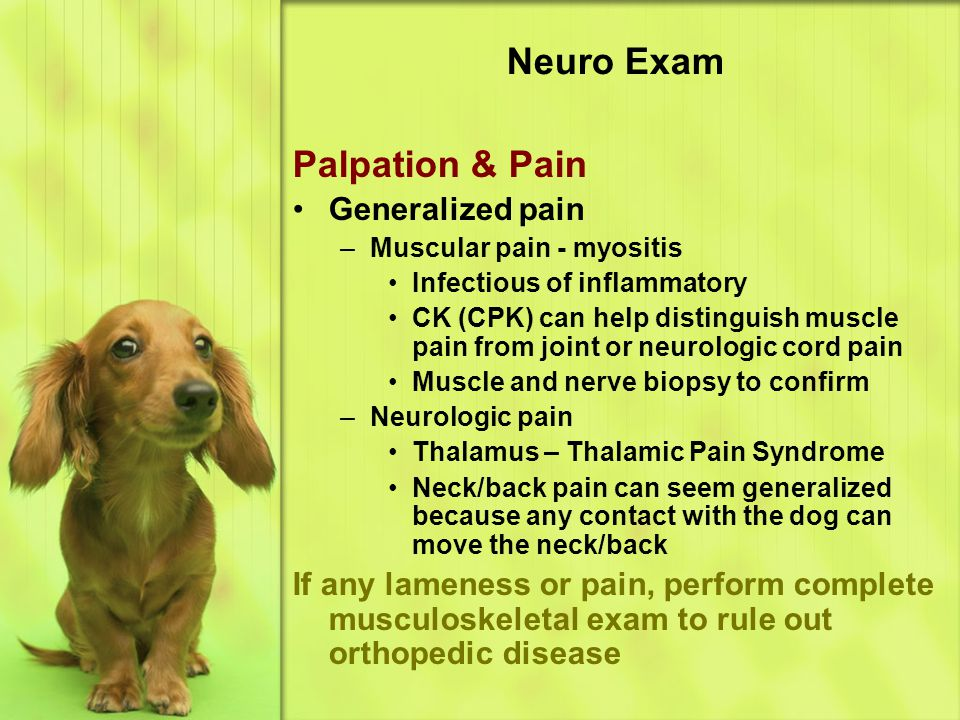Neuro Exam Palpation & Pain Generalized pain –M–Muscular pain - myositis Infectious of inflammatory CK (CPK) can help distinguish muscle pain from joint or neurologic cord pain Muscle and nerve biopsy to confirm –N–Neurologic pain Thalamus – Thalamic Pain Syndrome Neck/back pain can seem generalized because any contact with the dog can move the neck/back If any lameness or pain, perform complete musculoskeletal exam to rule out orthopedic disease