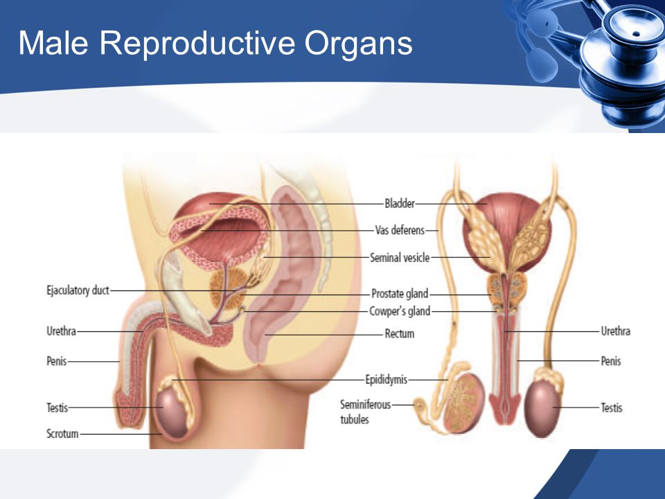 Male External Reproductive Organs Penis – The male sex organ for reproduction and urination Scrotum – A sac like pouch that hangs under the penis and holds the testes –Regulates the temperature of the testes (3-5 degrees)