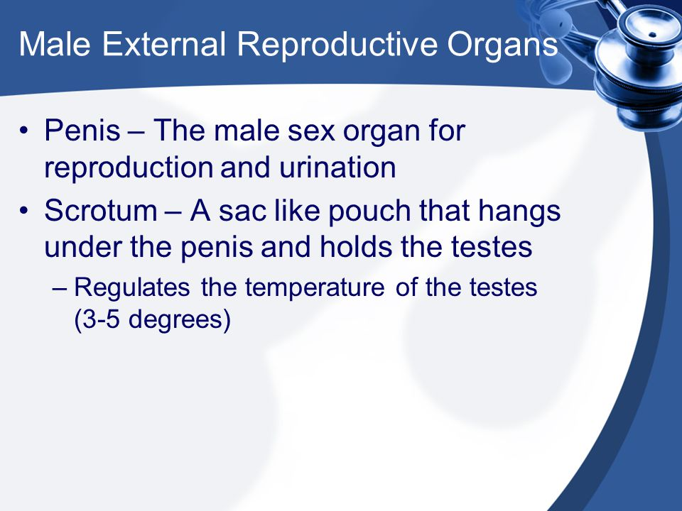 Male Internal Reproductive Organs Testes – Male reproductive glands that produce sperm and testosterone.