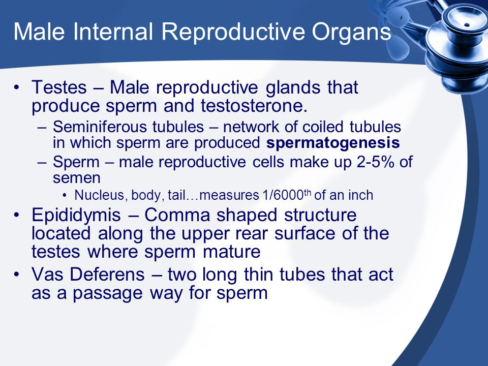 Male Internal Reproductive Organs Seminal Vesicles – two elongated saclike glands at the base of the bladder.