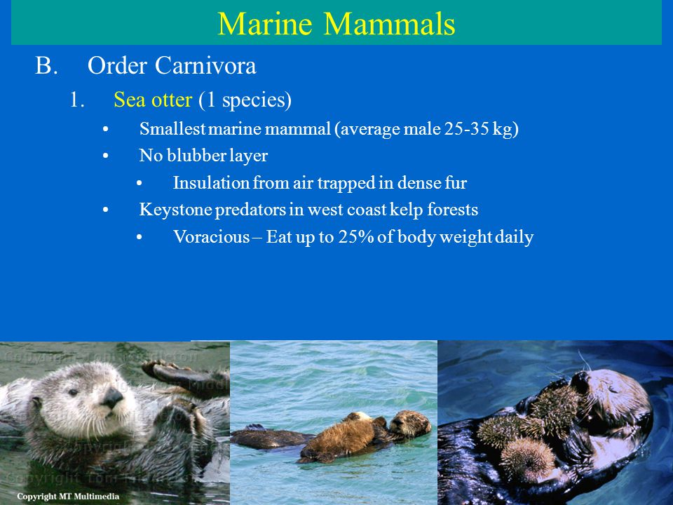 Marine Mammals B.Order Carnivora 1.Sea otter (1 species) Smallest marine mammal (average male 25-35 kg) No blubber layer Insulation from air trapped in dense fur Keystone predators in west coast kelp forests Voracious – Eat up to 25% of body weight daily