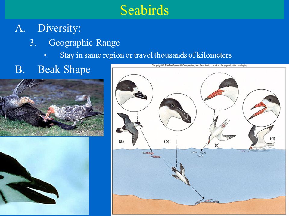Seabirds A.Diversity: 3.Geographic Range Stay in same region or travel thousands of kilometers B.Beak Shape
