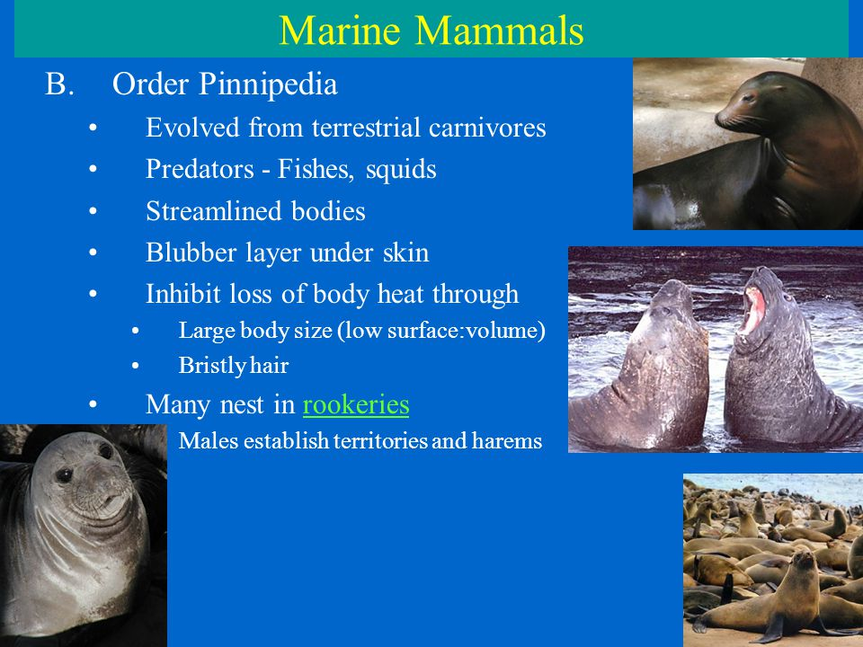 Marine Mammals B.Order Pinnipedia Evolved from terrestrial carnivores Predators - Fishes, squids Streamlined bodies Blubber layer under skin Inhibit loss of body heat through Large body size (low surface:volume) Bristly hair Many nest in rookeries Males establish territories and harems