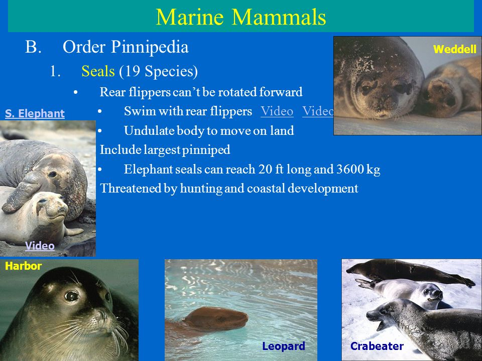 Marine Mammals B.Order Pinnipedia 1.Seals (19 Species) Rear flippers can't be rotated forward Swim with rear flippers Video VideoVideo Undulate body to move on land Include largest pinniped Elephant seals can reach 20 ft long and 3600 kg Threatened by hunting and coastal development Weddell LeopardCrabeater Harbor S.