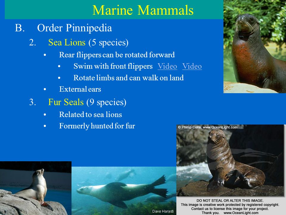 Marine Mammals B.Order Pinnipedia 2.Sea Lions (5 species) Rear flippers can be rotated forward Swim with front flippers Video VideoVideo Rotate limbs and can walk on land External ears 3.Fur Seals (9 species) Related to sea lions Formerly hunted for fur