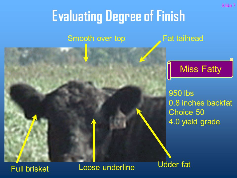 Evaluating Degree of Finish Miss Fatty 950 lbs 0.8 inches backfat Choice 50 4.0 yield grade Smooth over top Loose underline Full brisket Fat tailhead Udder fat Slide 7